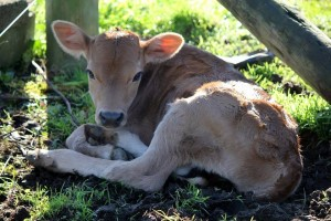New Calf - Andy Pappas